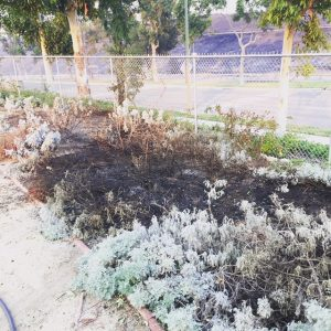 The native plant white sage at Coastkeeper Garden is only partially scorched after the recent Santiago Canyon fire.