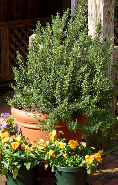 Rosemary in pot JPG